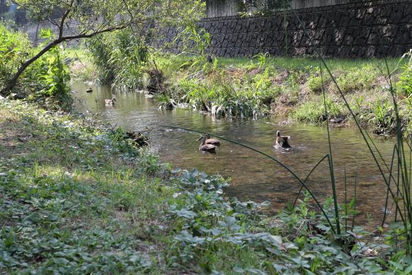 野川の子鴨たち