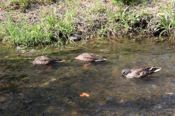 飯に夢中の野川の子鴨たち