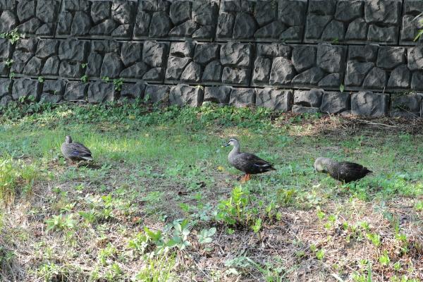涼む野川の子鴨たち