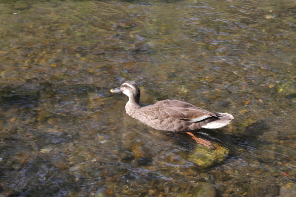 大きくなった野川の子鴨