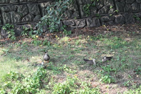 野川の鴨のこり3匹発見
