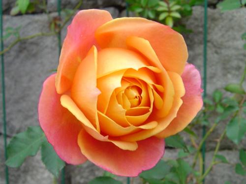 ディズニーの噂・裏技・裏話_東京ディズニーリゾートにはディズニーランドローズという名前のバラが植えられている
