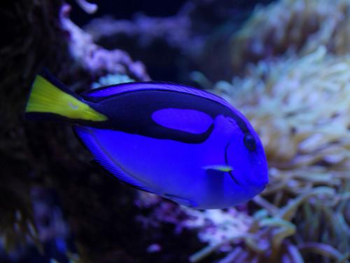 ディズニーの噂・裏技・裏話_「ファインディング・ニモ」に登場するドリーの魚の種類とは