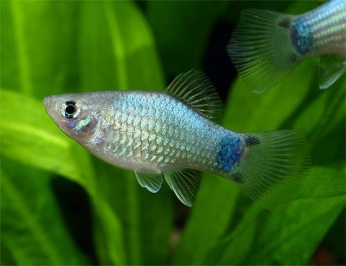 熱帯魚ブルー・ミッキーマウス・プラティ