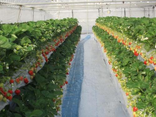 オリエンタルランドが東京ディズニーリゾートで提供するイチゴを自社生産_1