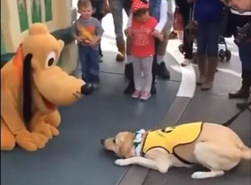 【貴重映像】プルートに初めて会った介助犬の反応_2