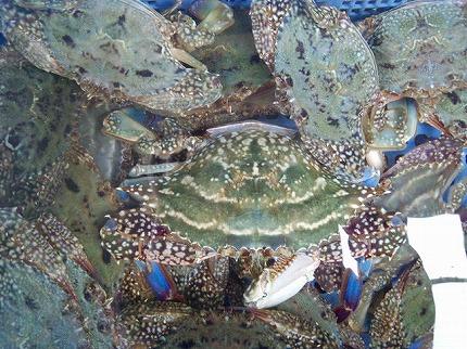 ワタリ蟹.jpg