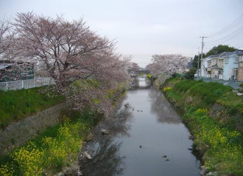 唐沢川の桜