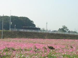 下川上のコスモス畑