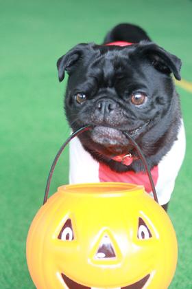 かぼちゃ運搬犬