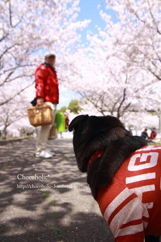 満開の桜のトンネル!