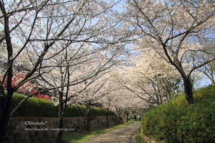 大島桜のトンネル