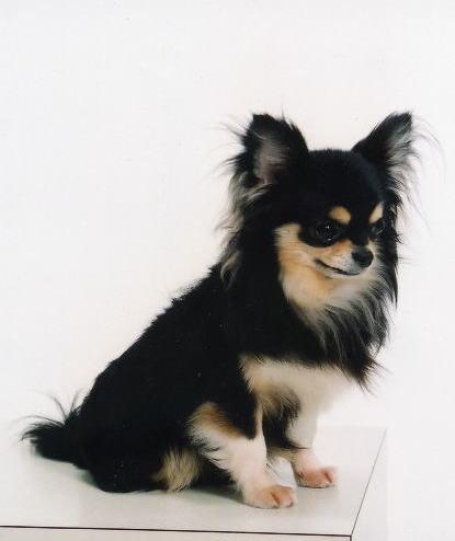 イソップハウスの看板犬☆現役イギリスチャンピオンのマーリン