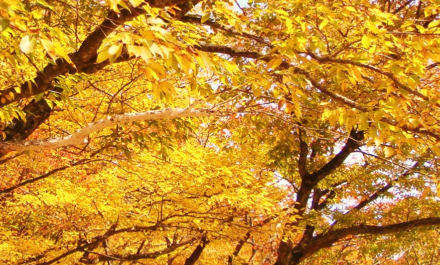 大山寺本堂周辺 黄色