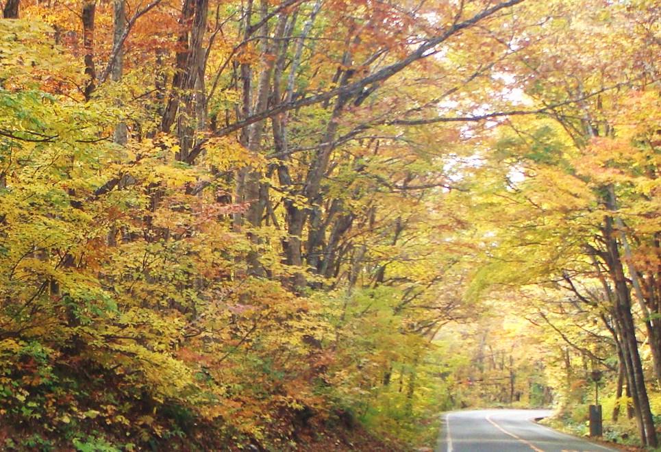 ブナ林の紅葉トンネル