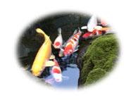 20120109浅草中清の鯉の極小