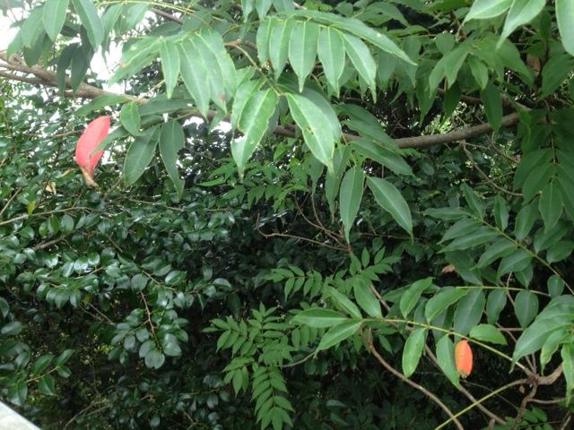 20120818一枚だけ紅葉した葉っぱ