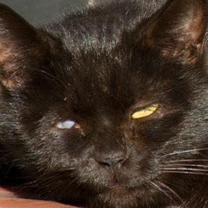 [猫]黒猫オッドアイのアップ