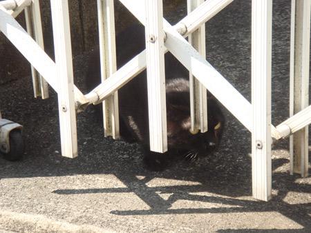 [猫]クロネコさん、様子伺い