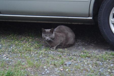 [猫]グレーなニャンコさん