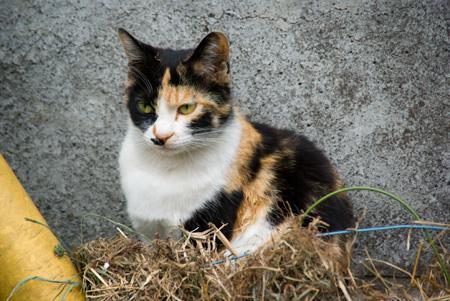 [猫]おすわり三毛猫