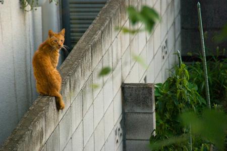 [猫]うっすら茶トラ