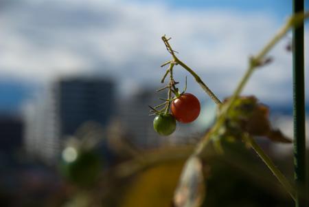 [風景]トマトのある風景(笑)