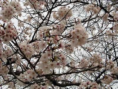 染井吉野桜