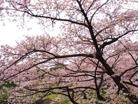九段下・桜