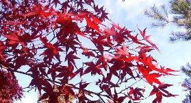見事な紅葉が…