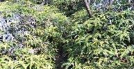 生い茂るシダの道