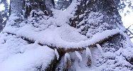 夫婦杉も雪まみれ
