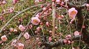 数本の梅に開花があるだけ