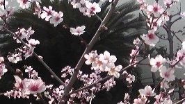 桜より少し大きめ