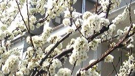 小ぶりで桜そっくりです