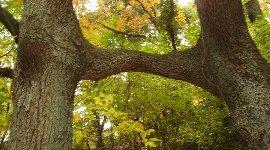 2本の楠の枝が一つに交わって…連理と言います