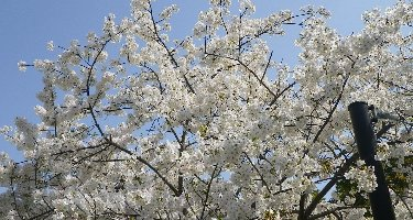 柴島高校内に咲く桜