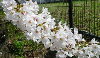 空襲弾痕の横にあった桜です