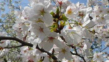 これも弾痕横の桜です