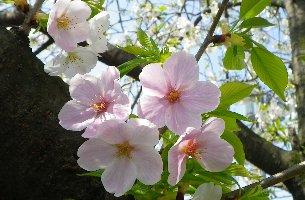 病院横の桜です