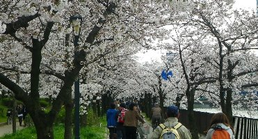 桜のトンネルを…