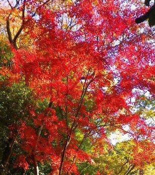 今日の初紅葉