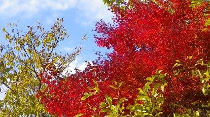 ベンチ横の紅葉です