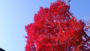 元、風車横の紅葉