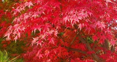 テーブル横の紅葉