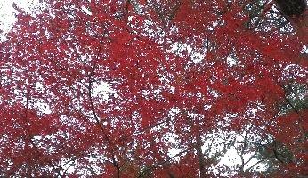 数少ない紅葉