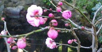 境内に咲く梅