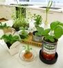 究極の節約「キッチン菜園」