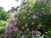 Lilac_1