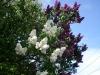 Lilac_3